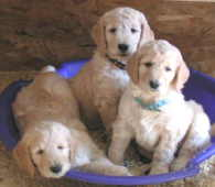 Zippity Doodles Breeders Of Quality Goldendoodle Puppies In
