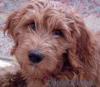 Zippity Doodles, breeders of quality Goldendoodle puppies in